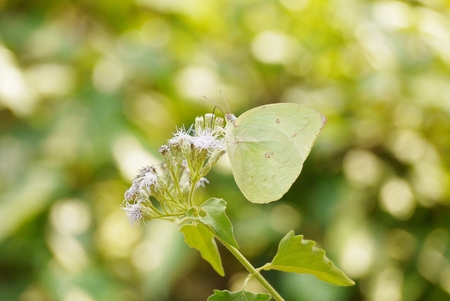 refreshed: ฺBeautiful green  butterfly feeding on a  white flower