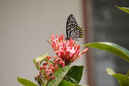 refreshed: Black and white butterfly feeding on a  red flower