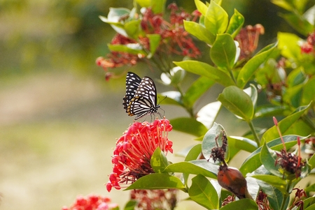 successively: beauty butterfly on red flower Stock Photo