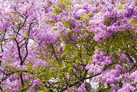 flor morada: Flores p�rpuras en el �rbol Foto de archivo