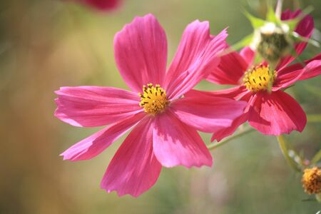 Echinacea pink flower from Iran