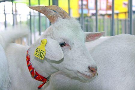 Beautiful goat on the farm. Banco de Imagens