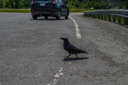 Crow crossing the road