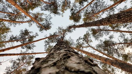 A group of tall trees. View from the ground. Parallels of pine trunks seem to converge in an upward direction.