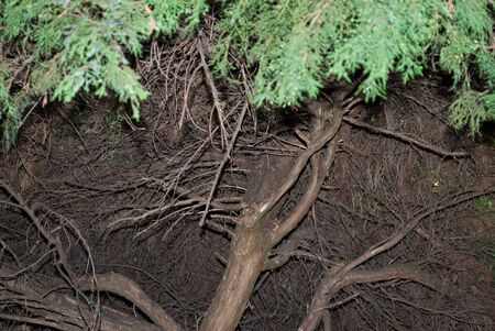 Coniferous roots stick out of the ground. 写真素材 - 129456513