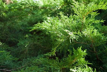 Coniferous tree of fresh greens. Green background