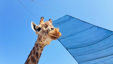 Front at giraffe view against the blue sky. 写真素材 - 129467273
