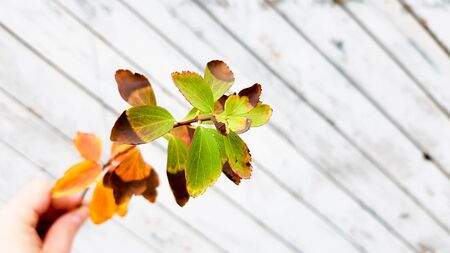 bright leaves on a rustic wooden background. fall season. Autumn background concept.