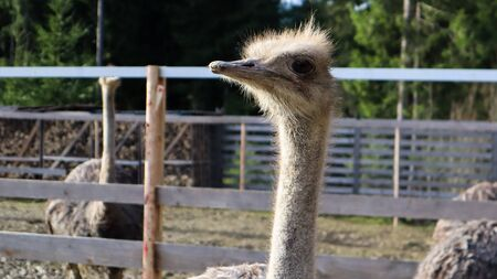 ostrich bird head and neck front portrait in a park. A close up shot of a cute ostrich on a blurred background Banque d'images