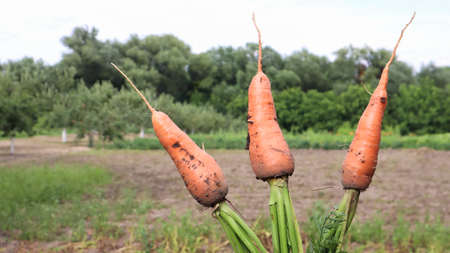 Freshly dug carrots with tops on the background of a vegetable garden on a sunny day outdoors. Large unwashed carrots in the field close-up. Harvesting a new crop of vegetables in the countryside