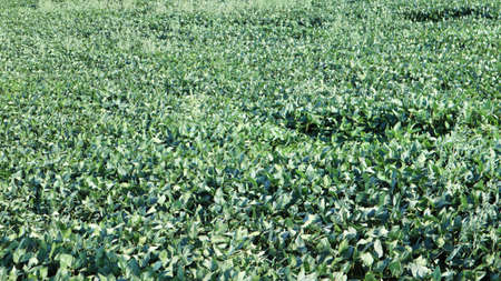 Green ripening soybean field, agricultural landscape. Soybean plantation on a sunny day