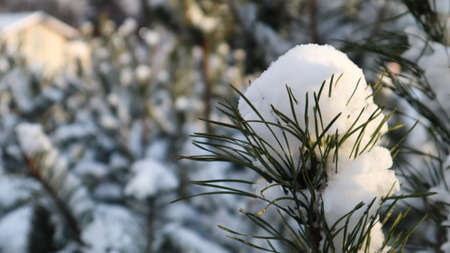 Close-up of a Christmas tree with light snow flakes. The branches of the Christmas tree are covered with snow, natural spruce. Winter background