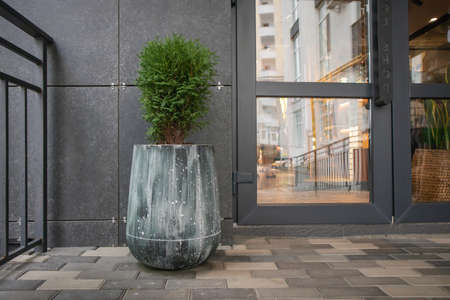 Green small spherical Chinese thuja in a concrete pot near the house at the entrance. Traditional home decorations. Entrance to the building, a pot of flowers and a small thuja Stockfoto