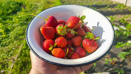 Fresh juicy ripe tasty organic strawberries in an old metal bowl outdoors on a sunny summer day. Strawberry red fresh berries and sweet juicy fruit