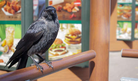 Close-up view of a black bird, a crow standing on a wooden railing. Raven is seated on the fence Stockfoto