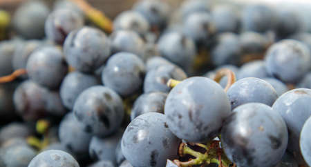 Collection of ripe grapes. Red wine grapes background. Freshly picked black, blue or red dark wine grapes. Healthy fruits. Bunches of grapes, ready to eat. Berries texture as background. Grape sort Stockfoto