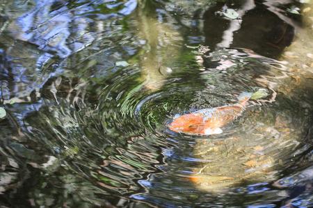 coi: Koi ripples
