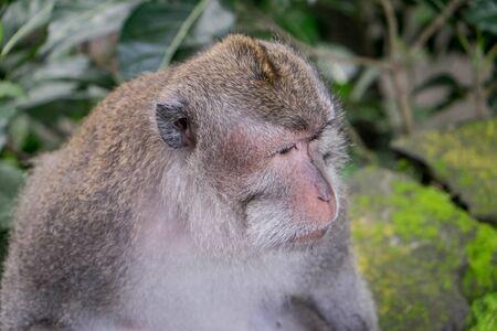 adult indonesia: Adult macaque looking into the distance, Ubud, Bali