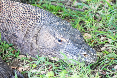 adult indonesia: Adult Komodo dragon lying in the grass, Rinca, Indonesia Stock Photo