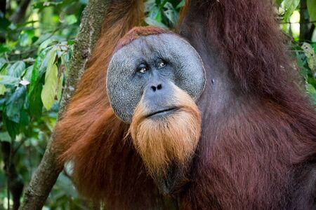 sumatran: Sumatran orangutan hanging in the trees