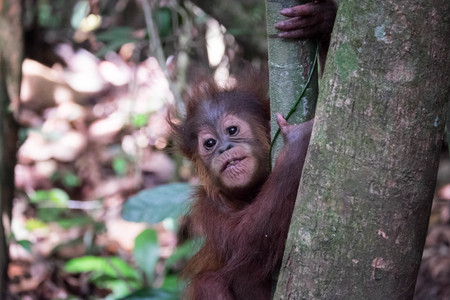 sumatran: Young orangutan in the Sumatran jungle