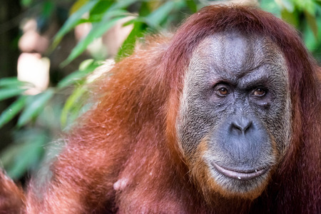 sumatran: Face and shoulders of an adult Sumatran orangutan