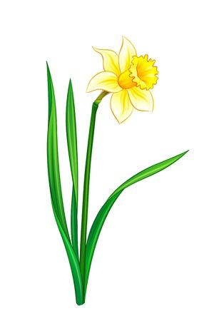 水仙 - ベクトル イラスト。EPS10 フォーマット  イラスト・ベクター素材
