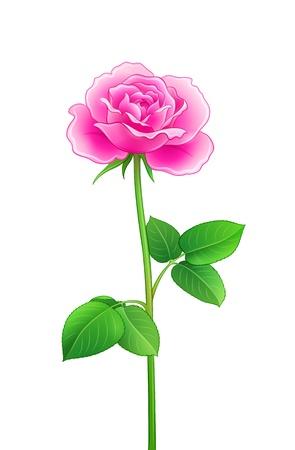 Pink rose - EPS10 vector illustration