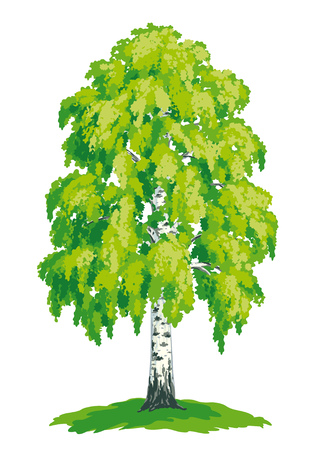 drawing trees: Vector drawing of birch.