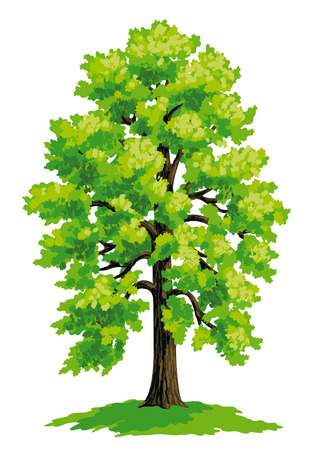 drawing trees: Vector drawing of linden.