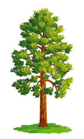conifers: Vector drawing of pine tree. Illustration