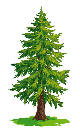 conifers: Vector drawing of fir tree.