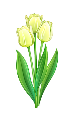 Bouquet of white tulips - EPS10 vector illustration