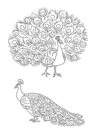 Peacock in outlines, front and side view vector illustration.