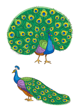Bright peacock, front and side view vector illustration.