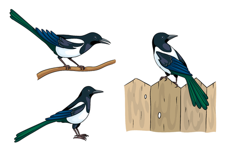 Magpies in different poses Vector illustration.