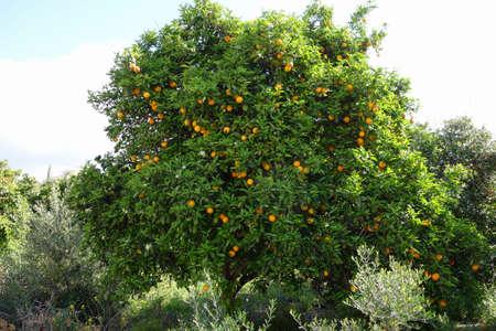naranja arbol: Naranjo en el jard�n