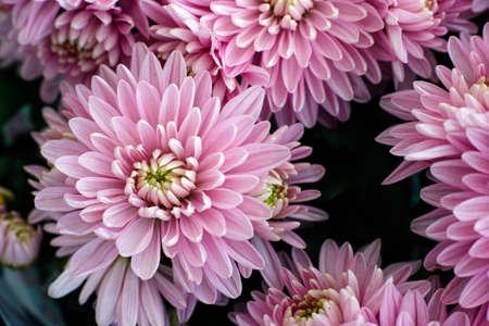 golden daisy: Bouquet of pink chrysanthemums. Close up.