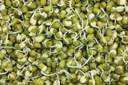 mash: Home-grown fresh mung bean (mash) sprouts