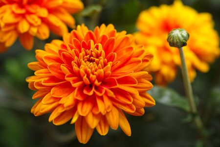 golden daisy: Orange chrysanthemums with water drops in nature.