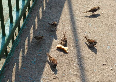 animals feeding: Sparrows with bread crumbs in the street. Stock Photo