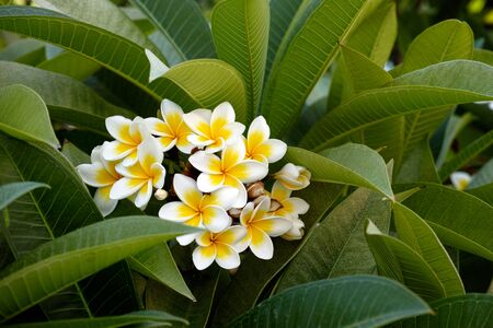 exotic plant: Frangipani flowers. Beauty in nature. Stock Photo