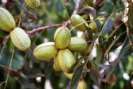 Young pecan nuts growing on a tree Stock fotó