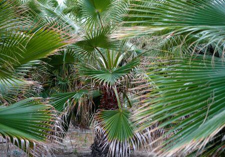arboleda: Arboleda de palmeras pequeñas