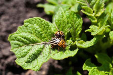 chitin: Two colorado beetles on potato leaves