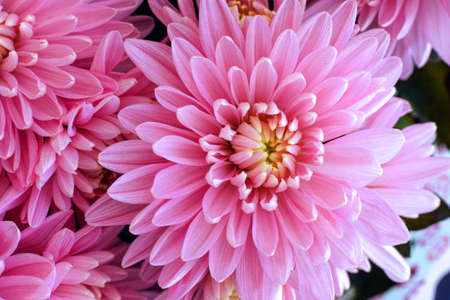 chrysanthemums: Bouquet of pink chrysanthemums. Close-up.