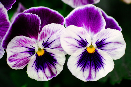 Two violet pansies in the garden. Close-up. Stock Photo