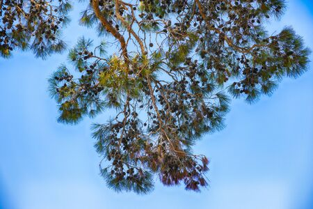 Cedar branches with cones against blue sky.