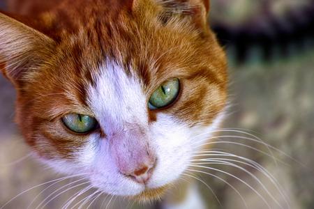 chat avec des yeux verts en regardant la caméra. photo en pied