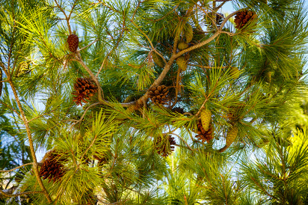 Cedar branches with cones against blue sky. Close-up.